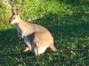 Australia Wallaby